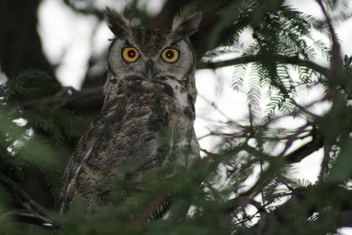 Good owl pic