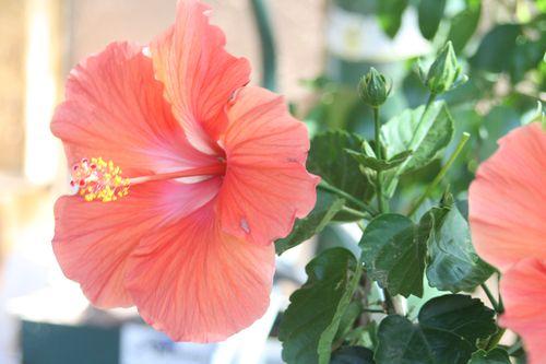 Hibiscus,5-2012 002