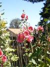 Ambikas_flowers_007
