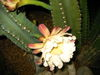 Blooming_mexican_fencepost_796_006